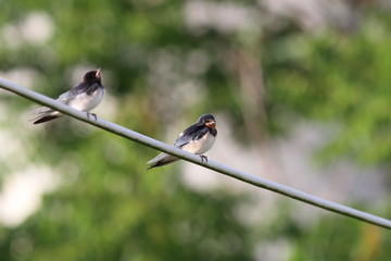 barn swallow standing on electric wire