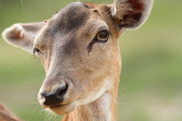 female fallow deer face