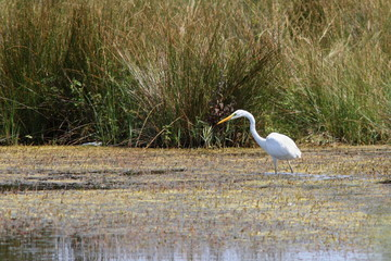 great egret hunting on swamp