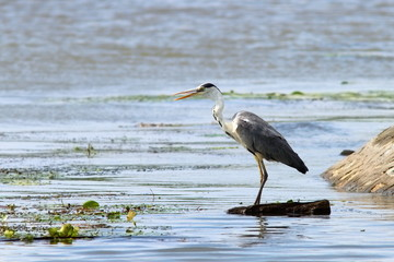 grey heron looking for prey