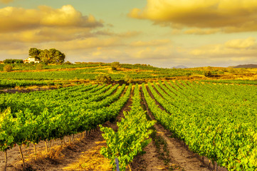 a vineyard in a mediterranean country at sunset
