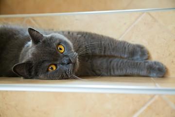 british cat pulling its legs