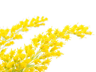goldenrod on a white background