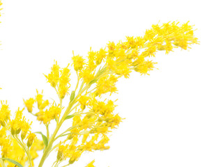 goldenrod flowers on a white background