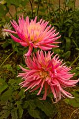 Pink dahlia blossom