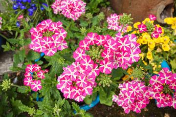 Beautiful blooming verbena close up