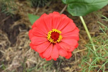 A beautiful red flower in a dacha garden