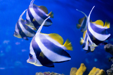 Tropical fishes swim near coral reef. Selective focus