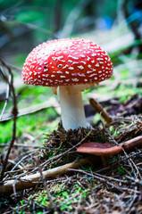 Amanita poisonous mushroom in nature
