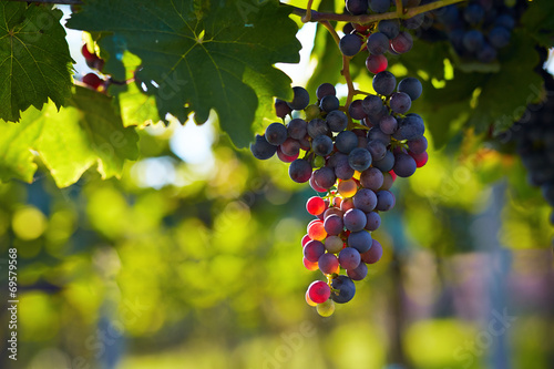 Branch of red wine grapes poster