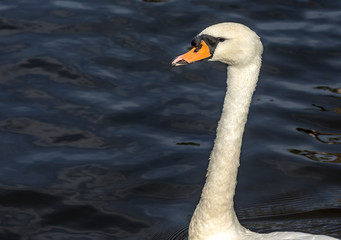 White Swan in Scotland