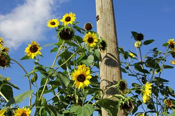 Sonnenblumen in Österreich