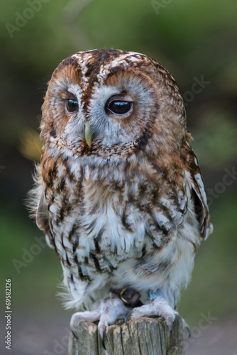 Poster Uil Tawny Owl