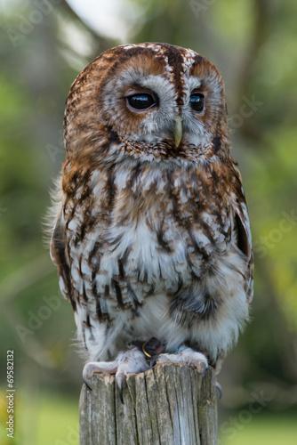 Aluminium Uil Tawny Owl