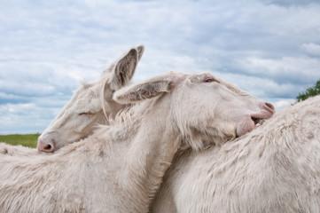 white donkey pair grooming