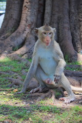 monkey sitting looking in lopburi thailand
