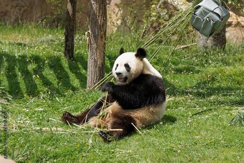 Foto op Canvas Panda panda-101