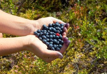 human hands holding a handful of blueberries with one cowberry