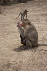 monkey lopburi thailand drink water red