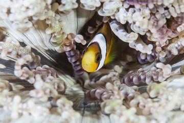 Clark's Anemonefish and Host Anemone