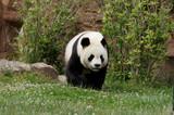 panda-40