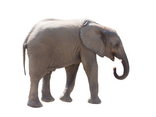 Elephant, it is isolated on a white background