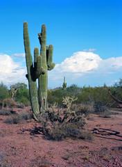 Saguaro Cactus cereus giganteus