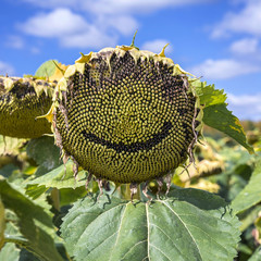 Tournesol smiley