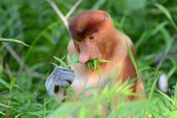 Scimmia nausica che mangia felce