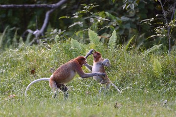 Young males of proboscis monkey paying