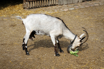 animal, country, countryside, eat, farm, goat, green