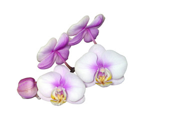White and Pink Phalaenopsis Flowers on White