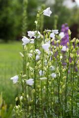 Campanula or canterbury bells flowers