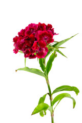 small carnation flowers isolated on white