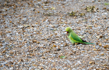 Naturalised wild parakeet, London, UK.