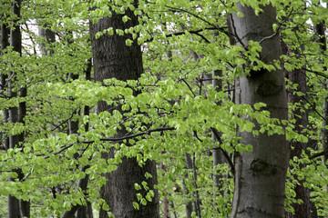 Frühlingsbuchenwald