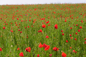 tiefroter Mohn