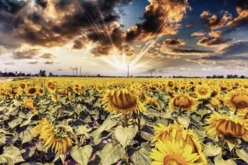 Field of sunflowers with beautiful sky