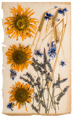 dried flowers on aged paper sheet. herbarium of sunflowers, corn