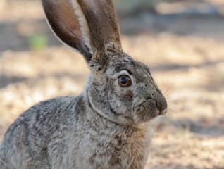 Wild Hare in desert