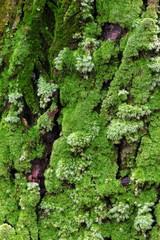 杉の幹の苔