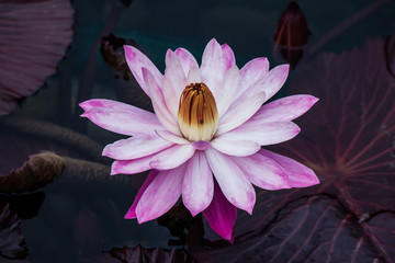 Pink Lotus Bloom