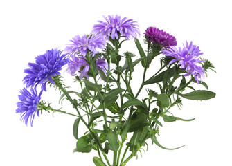 New-york Asters, Symphyotrichum novi-belgi isolated