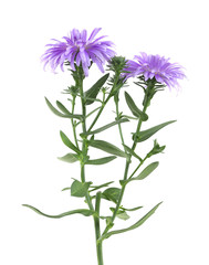 New-york Aster, Symphyotrichum novi-belgi isolated