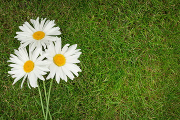 Three chamomile flowers over green grass