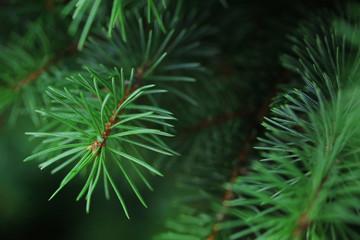 Fir tree branch close-up