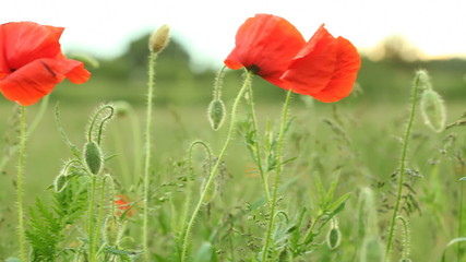 Green meadow. Poppie seed on the wind