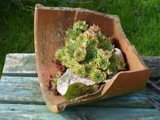 Hauswurzen in einem zerbrochenen Tongefäß in Löhne bei Herford