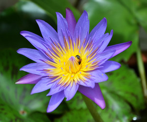 Single violet and yellow lotus