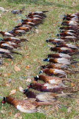 excludes of caught pheasants